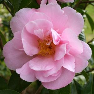 Camellia 'Phyl Doak'