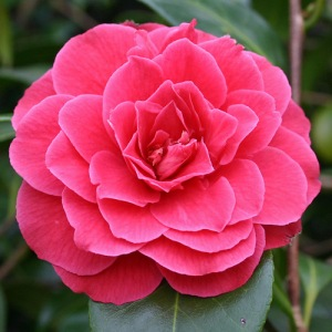 Camellia japonica 'Pierate's Pride'