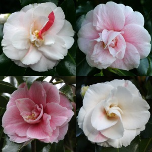 Camellia japonica 'Pink Clouds'