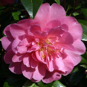 Camellia 'Plymouth Beauty'