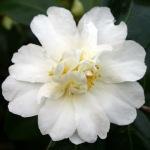 Camellia 'Polar Ice'