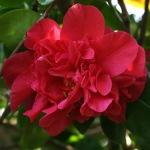 Camellia japonica 'Premier'