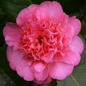 Camellia japonica 'Preston Rose'