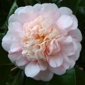 Camellia 'Priomfo di Lodi'