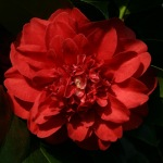 Camellia japonica 'Professor Sargeant'