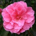 Camellia reticulata 'Professor Tsai'