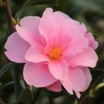 Camellia hybrid 'Prudence'