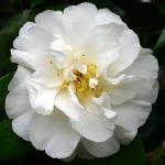 Camellia 'Purity'