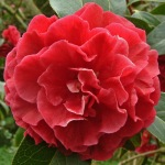Camellia reticulata 'Purple Gown'
