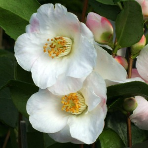 Camellia hybrid 'Quintessence'