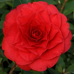 Camellia japonica 'Red Red Rose'