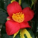 Camellia rusticana 'Reigyoku'