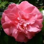 Camellia japonica 'Rena Swick'
