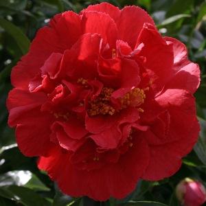 Camellia x williamsii 'Rendezvous'