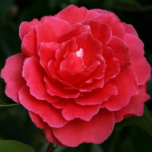 Camellia reticulata 'Robert Fortune'