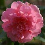 Camellia japonica 'Rosa Perfecta'