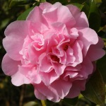 Camellia x williamsii 'Rose Bouquet'