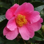 Camellia x williamsii 'Rose Court'