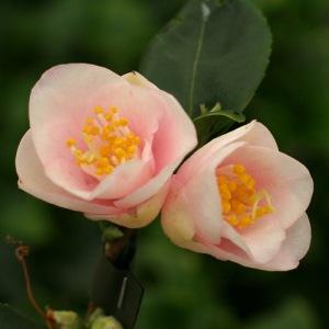Camellia rosiflora 'Rosaeflora Cascade'