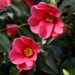 Camellia 'Rosemary Sawle'