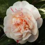 Camellia japonica 'Rosularis'