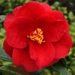 Camellia japonica 'Royal Velvet'