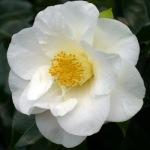 Camellia japonica 'Roza Harrison'