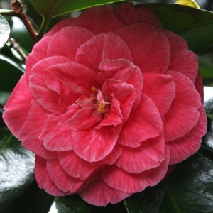 Camellia japonica 'Rubescens'