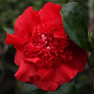 Camellia x williamsii 'Ruby Wedding'