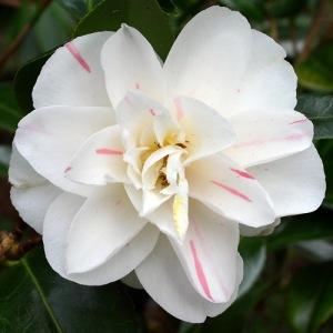 Camellia japonica 'Sabina'