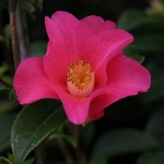 Camellia saluensis Dark Red