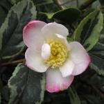 Camellia sasanqua 'Sasanqua Variegata'