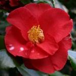 Camellia japonica 'Satanella'
