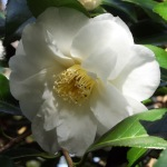 Camellia 'Sea Foam'