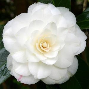 Camellia japonica 'Sea Shell'