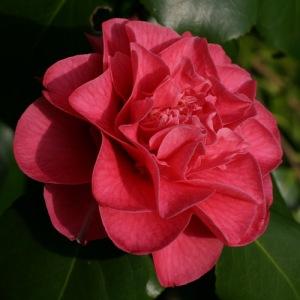 Camellia japonica 'Senator Duncan U. Fletcher'