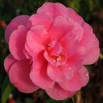 Camellia 'Serendipity'