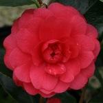Camellia 'Sethi'