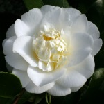 Camellia japonica 'Shiro Chan'
