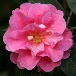 Camellia reticulata 'Shot Silk'