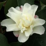 Camellia hiemalis 'Shôwa-no-sakae'