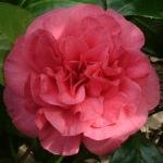 Camellia japonica 'Simeon'
