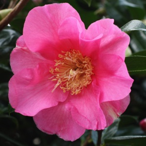 Camellia x williamsii 'Simon Bolitho'