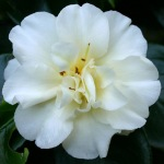 Camellia japonica 'Simplicity' (Australia)
