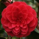 Camellia japonica 'Sir Victor Davies'