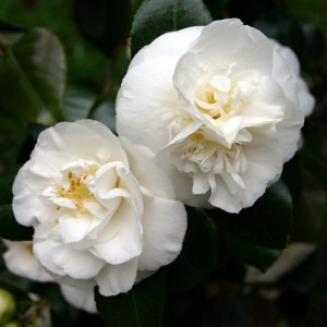 Camellia japonica 'Sode Gakushi'