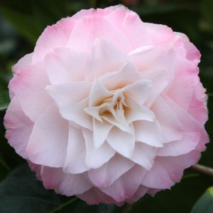 Camellia japonica 'Something Beautiful'