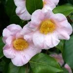 Camellia japonica 'Spencer's Pink'