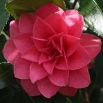 Camellia japonica 'Spring Formal'