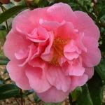 Camellia 'Spring Frill'